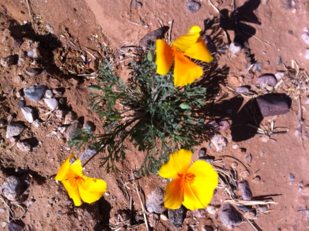 Mexican Golden Poppies were everywhere