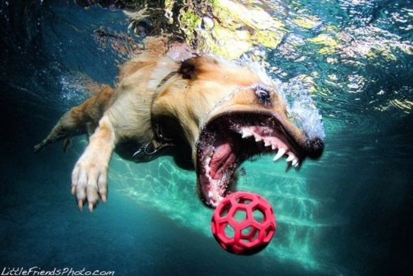 Google Dogs in Pools! It's funny!