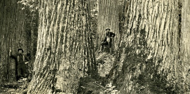 The-American-Chestnut-Tree picture